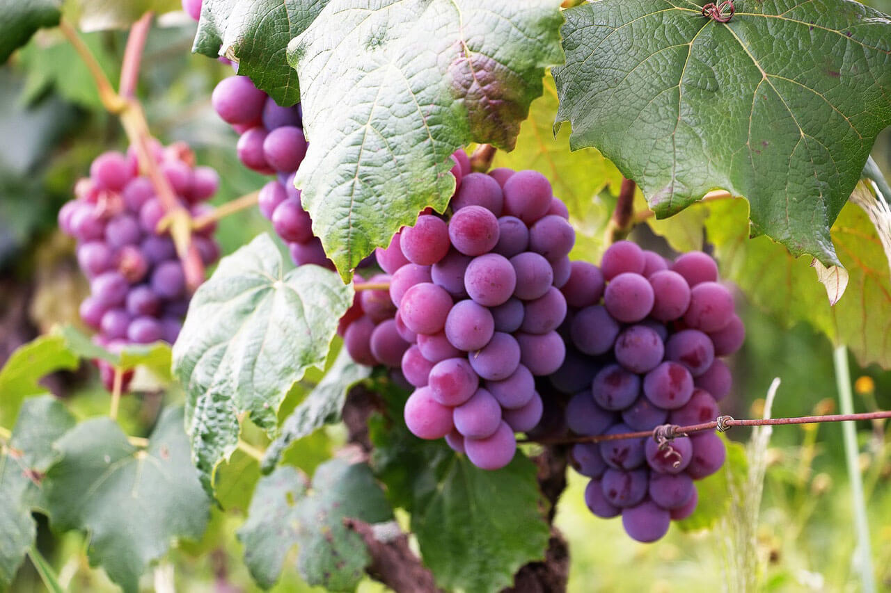 10 Seeds of American Frost Grape